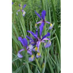 PREMIER (Spuria iriss)