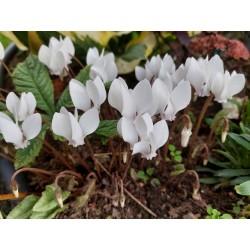 Cyclamen hederofolium Album